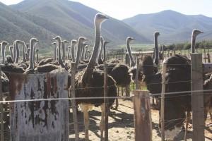 Ostrich farm