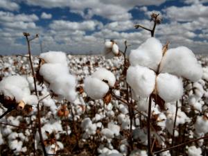 eco friendly fashion cotton plant