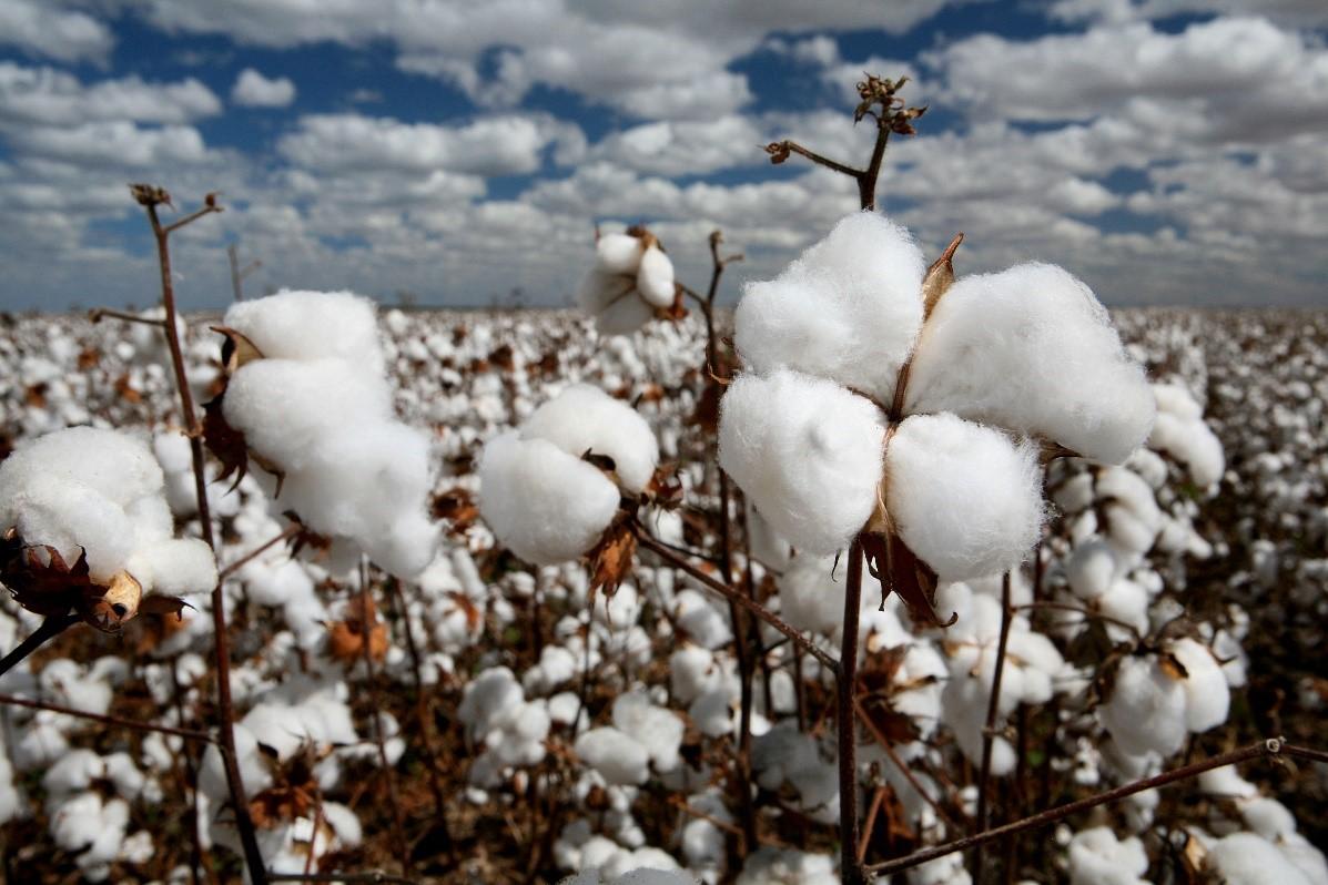 Eco friendly Cotton as natural fibre